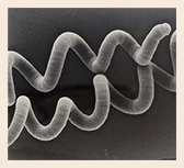 Spirulina Algen Spirale unterm Mikroskope